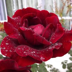 flores_en_mi_camino_127___rosa_con_rocio_by_dblue99-d9ritoh